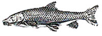 Just Fish Pewter Barbel Lapel Pin