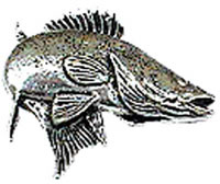 Just Fish Pewter Zander Lapel Pin
