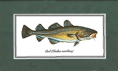 Just Fish Large print mounted unframed - Cod