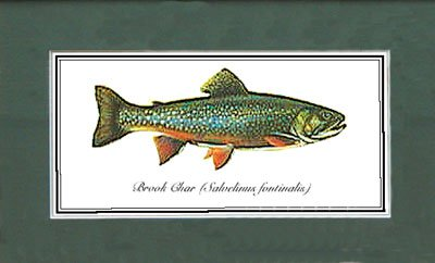 Just Fish Lrg Print Mounted Brook Char