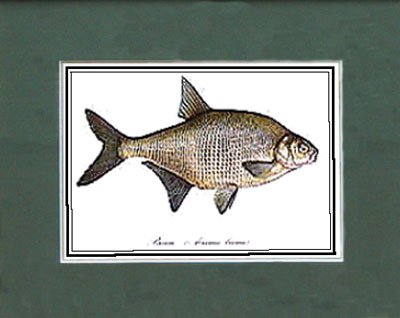 Just Fish Sm Print Unframed Bream
