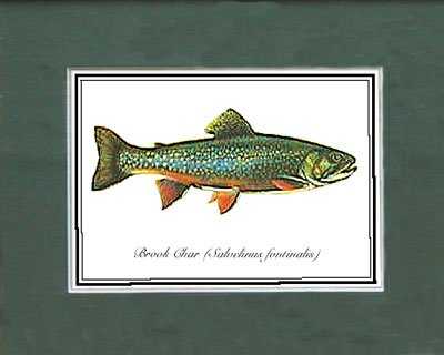 Just Fish Sm Print Unframed Brook Char
