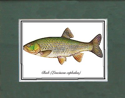 Just Fish Sm Print Unframed Chub