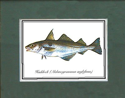 Just Fish Sm Print Unframed Haddock