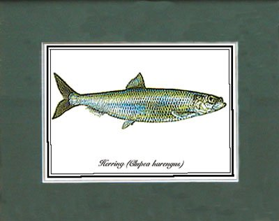 Just Fish Sm Print Unframed Herring