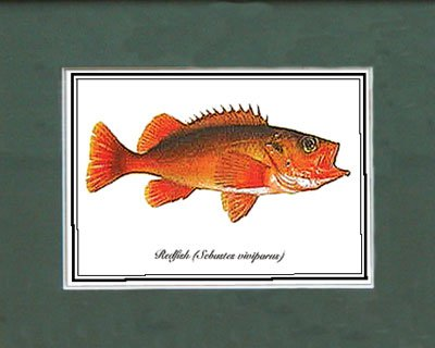 Just Fish Sm Print Unframed Red FIsh