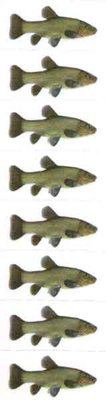Just Fish Sticker Tench 3cm