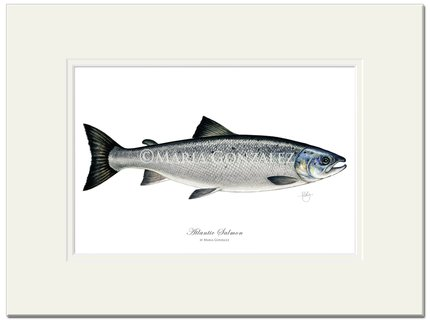 Mayfly Art Atlantic Salmon Signed Print
