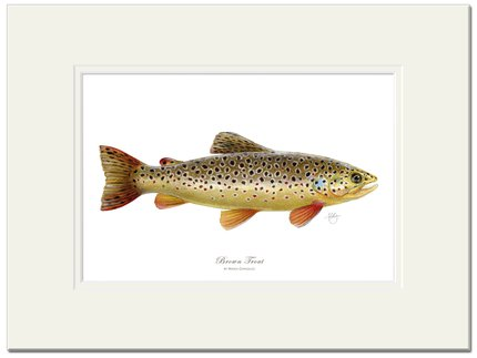 Mayfly Art Brown Trout Signed Print