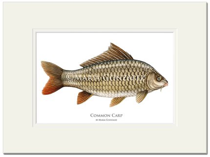 Mayfly Art Common Carp Framed Signed Print