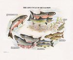 Fishing Maps Life Cycle Of Salmon Print
