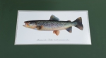 Just Fish Large Signed Print Mounted Marble Trout