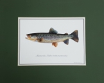 Just Fish Small Signed Print Mounted Marble Trout