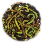 Willy Worms 40g Medium Green Dendrobaenas Worms